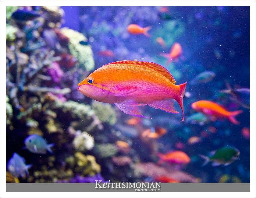 Orange and pink fish swims about the tank