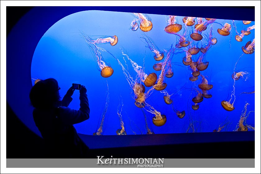 Visitor to the Monterey Bay Aquarium takes a photo of the jellyfish