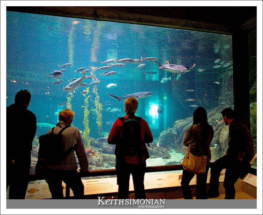 One of the larger tanks at the Monterey Bay Aquarium featuring large fish and stingrays