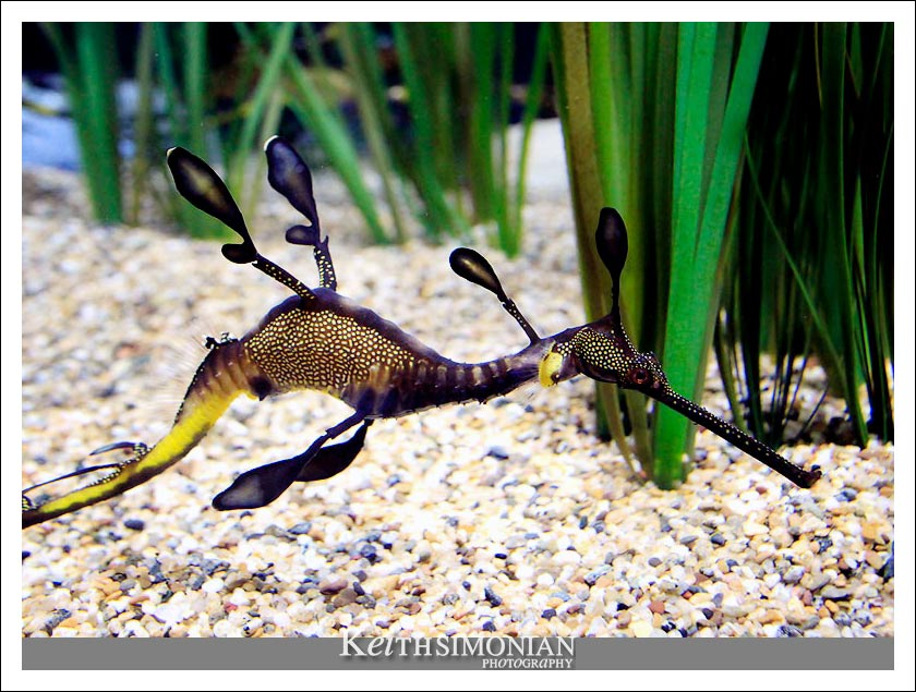 Weedy Sea Dragon seahorse photo - Phyllopteryx taeniolatus