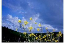 Spring storm clouds and yellow flowers photographed with fluorescent color settings