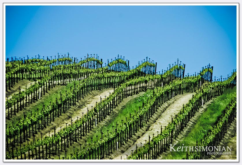 Grapes growing in a Napa Valley Vineyard with blue skies above