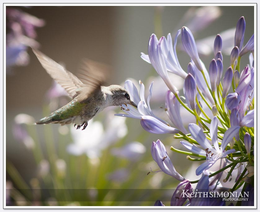 Photo of hummingbird feeding Lily of the Nile