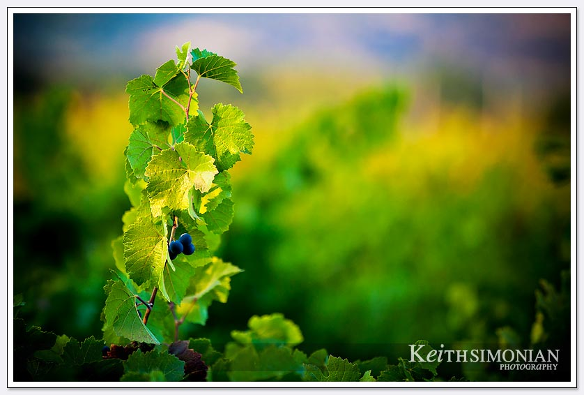 It wouldn't be a Napa Valley vineyard wedding without the grapes at sunset