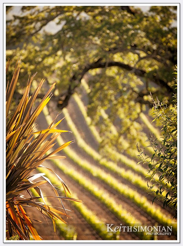 The last rays of sunlight hit the vineyards of the BR Cohn winery and Olive Oil company
