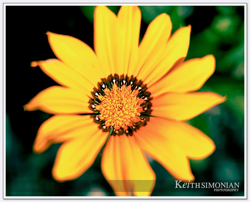 A Sigma 85mm lens and Canon EF12 on a Canon 5D mark 3 were used to capture this flower blooming