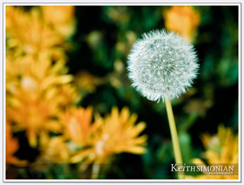 The flowers and this Dandelion are blooming on the first day of spring
