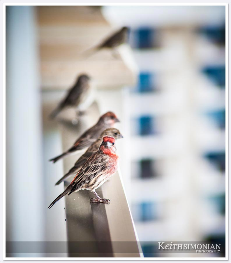 Birds on the ledge of the 21st floor of the Hyatt Regency Maui resort
