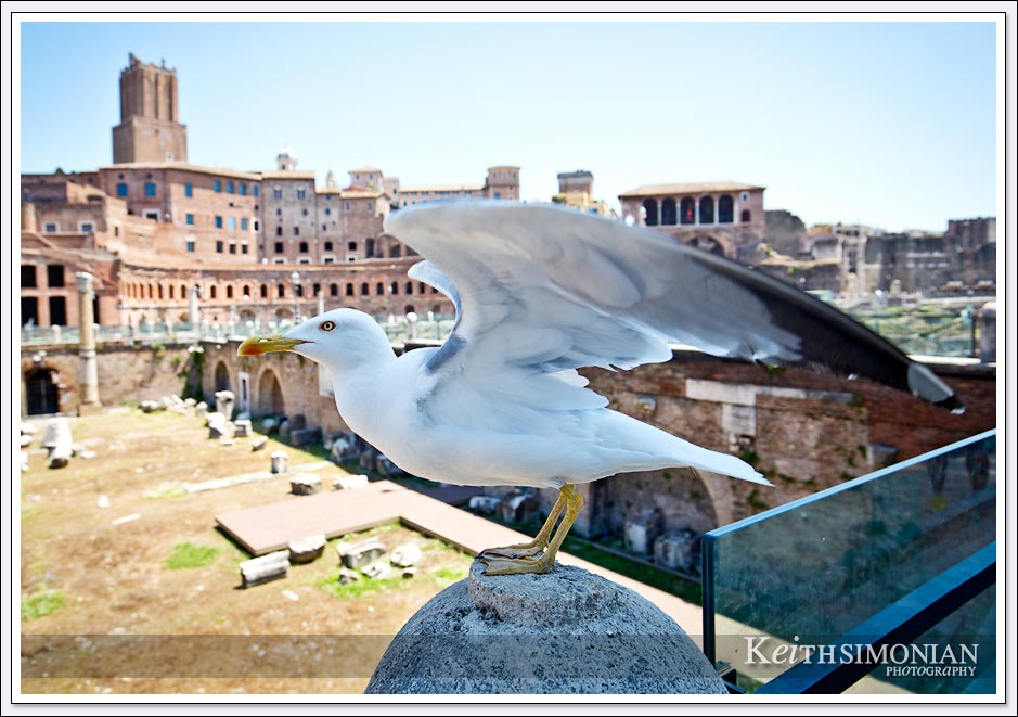 "This ""Roman Eagle"" lands near the tourists looking for food in Rome, Italy"