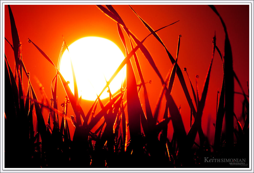 Morning dew on blades of grass silhouetted against a reddish Sun one January morning.
