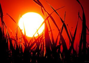 Blazing red morning sun shines through the grass and dew.